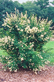 Privet, Cheyenne Common