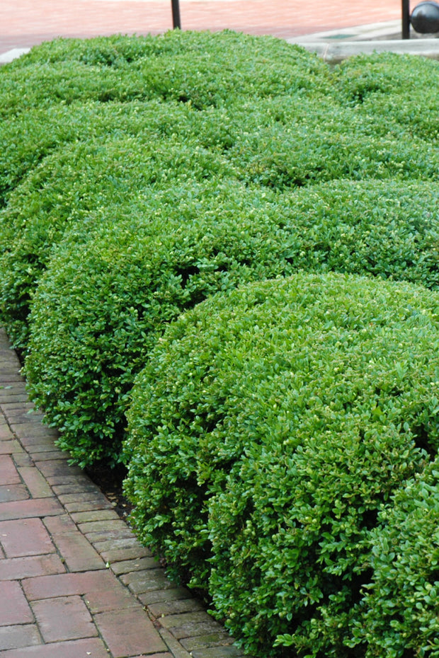 Boxwood, Chicagoland Green