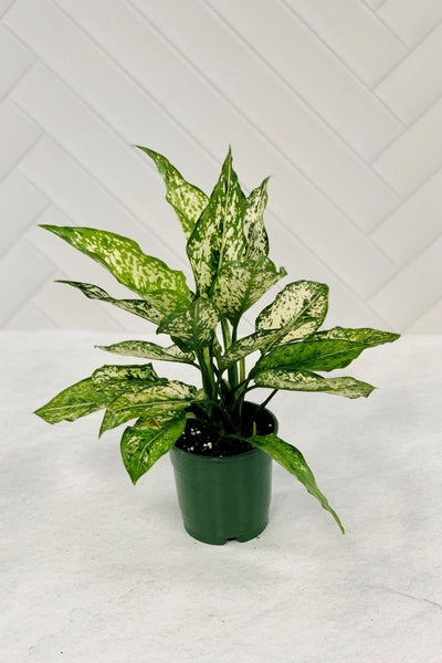 Chinese Evergreen, Spring Snow