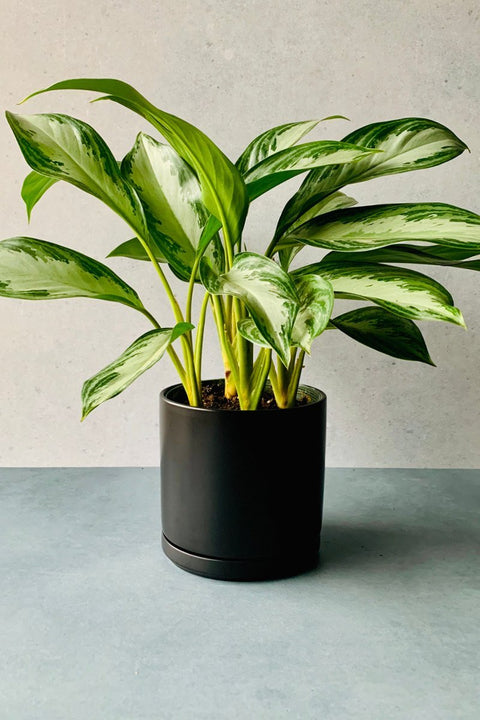 Chinese Evergreen, Silver Bay 8""