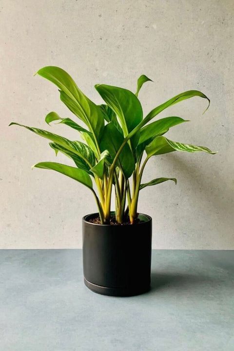 Chinese Evergreen, Stripes 8""