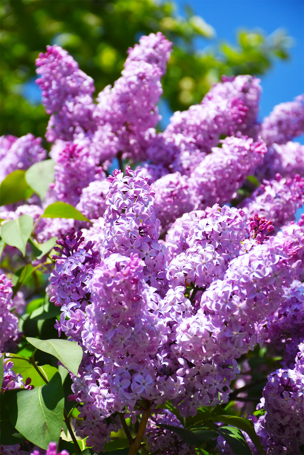 Lilac: Common Purple
