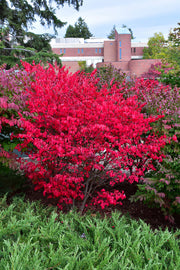 Burning Bush, Compact Winged