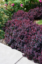 Barberry, Concorde Japanese