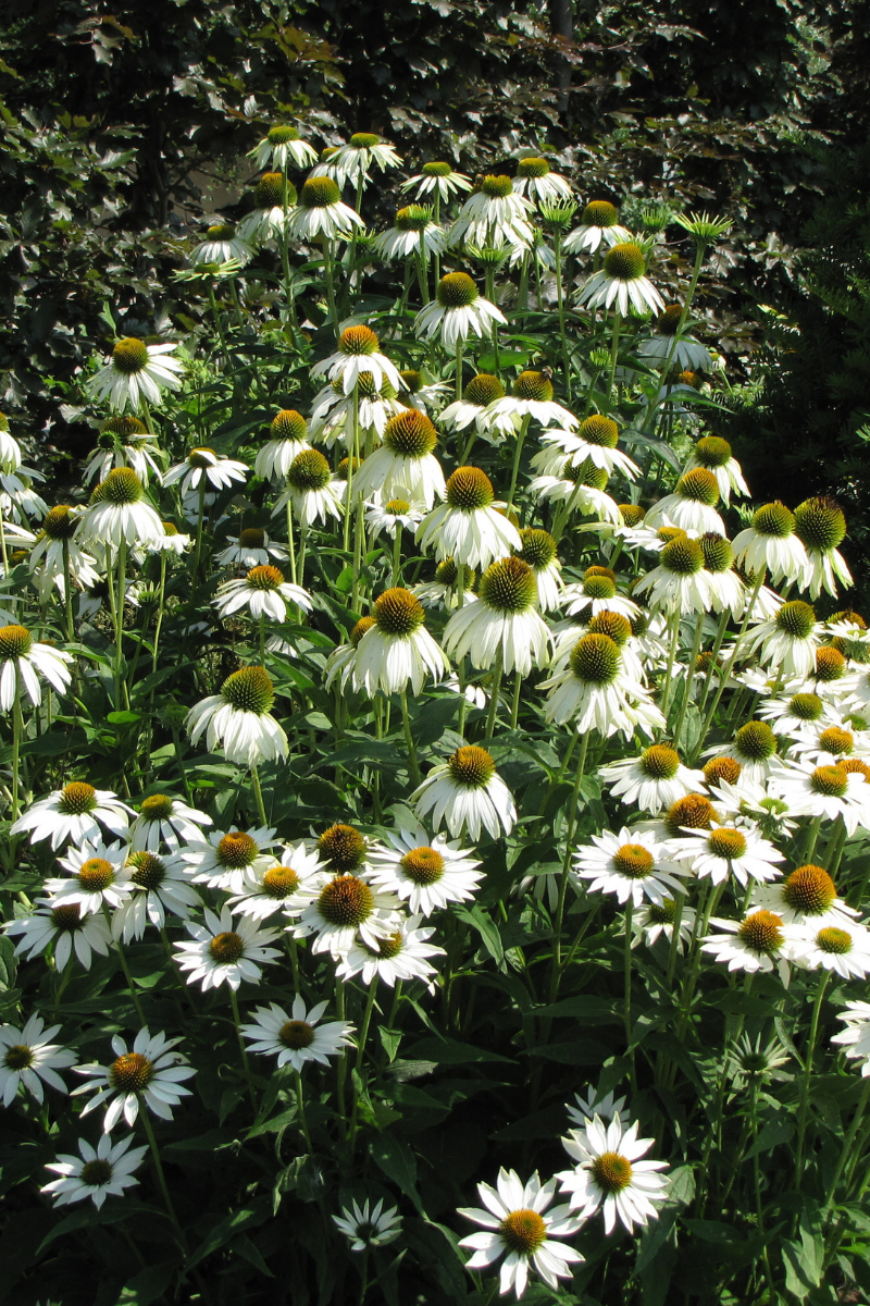 Coneflower, White Swan