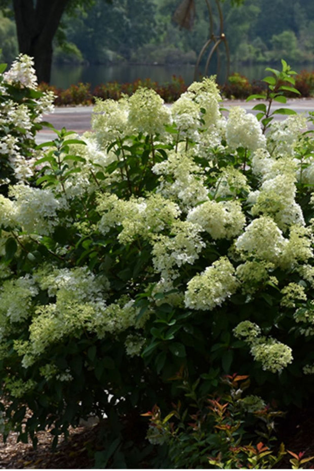 Hydrangea, Panicle-Little Lime