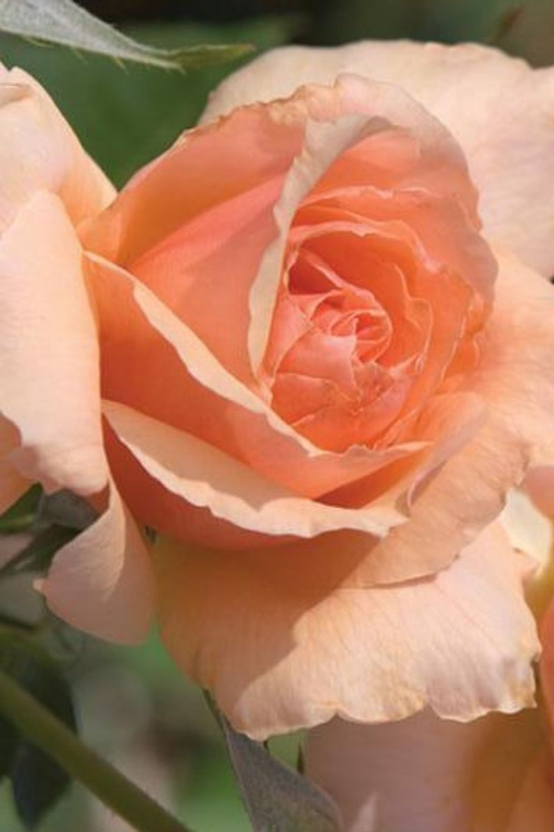Rose, Apricot Candy
