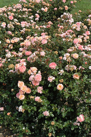 Rose, Drift Apricot