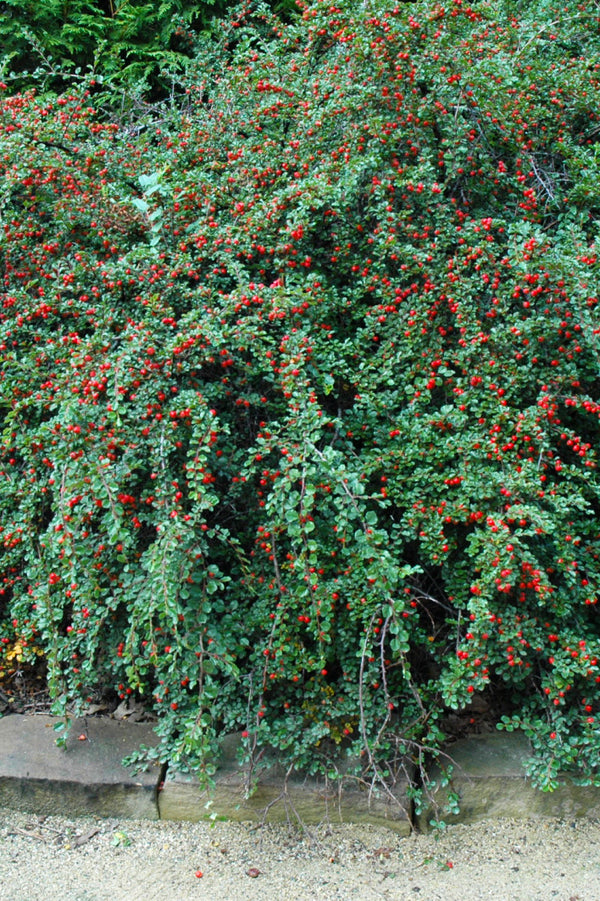 Cotoneaster Cranberry Chalet Nursery