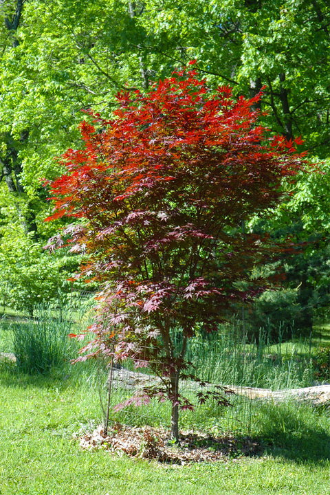 Japanese Maple, Crimson Prince
