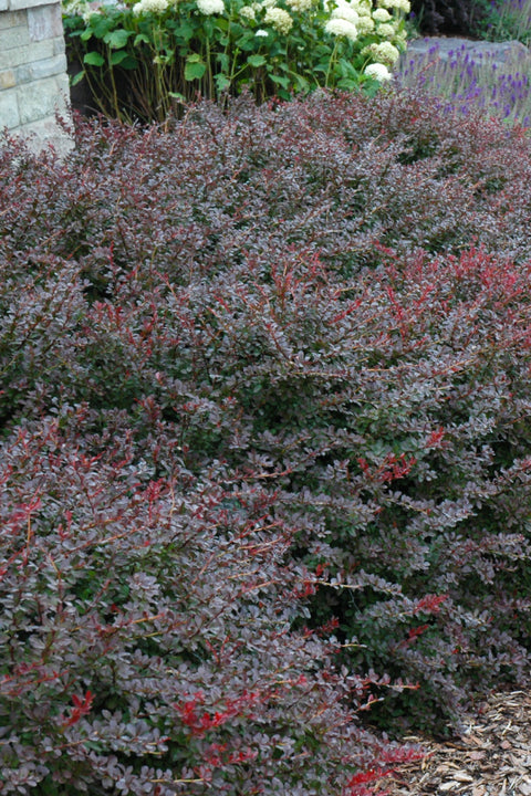 Barberry, Crimson Pygmy Japanese