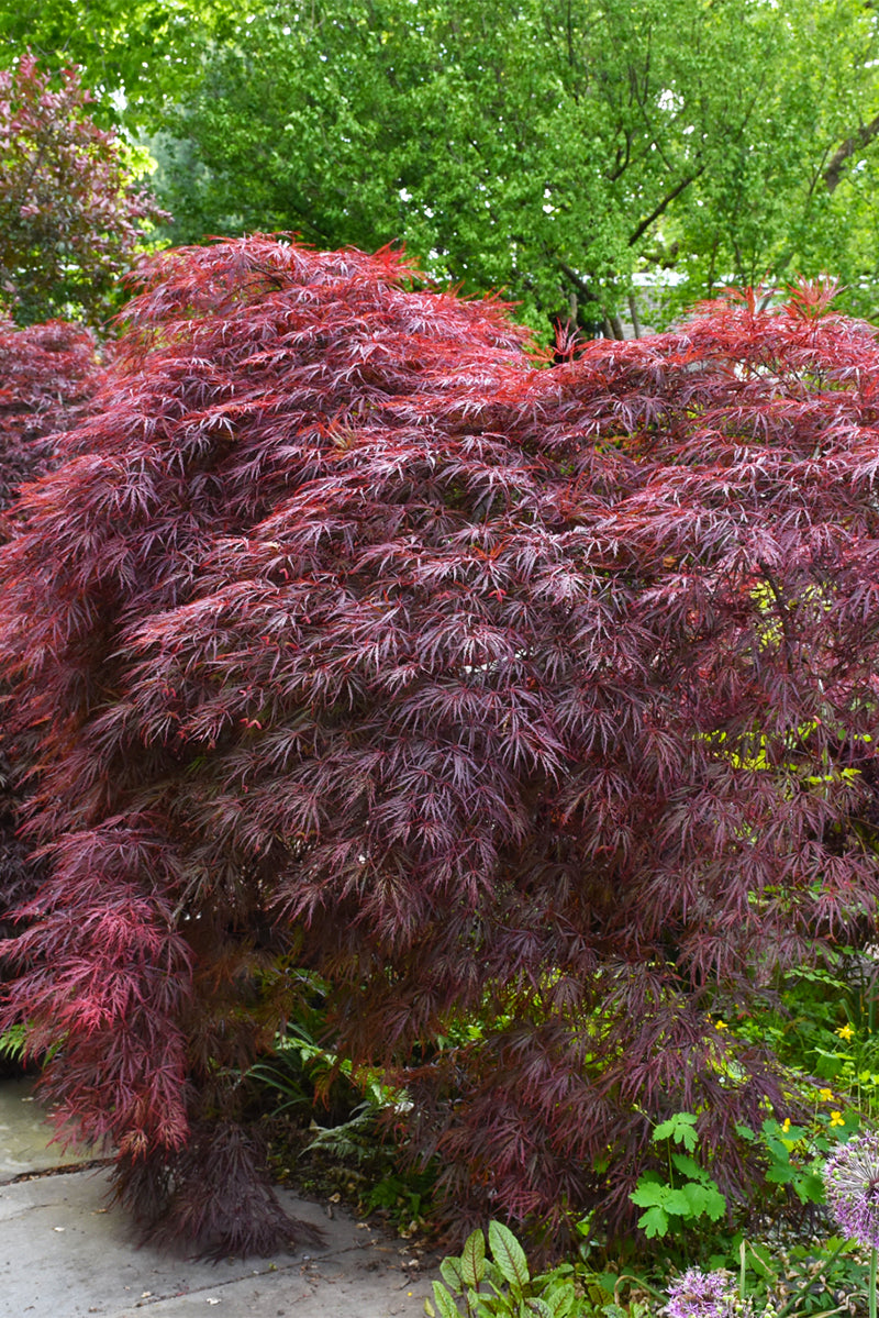 Japanese Maple, Crimson Queen Cutleaf