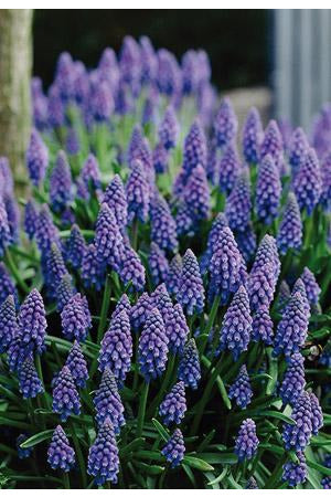 Bulb, Grape Hyacinth