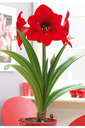 Bulb, Amaryllis Red Lion