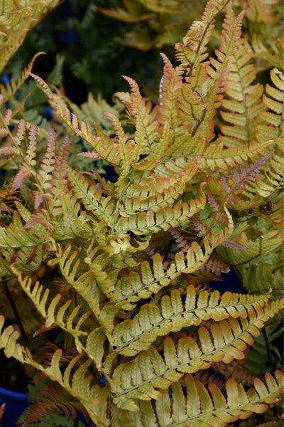 Fern, Autumn Brilliance