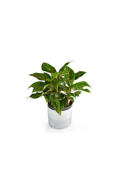 Chinese Evergreen, Hybrid
