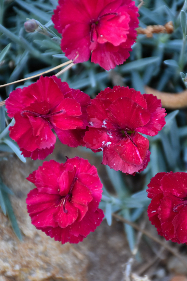 Dianthus, Frosty Fire Pinks