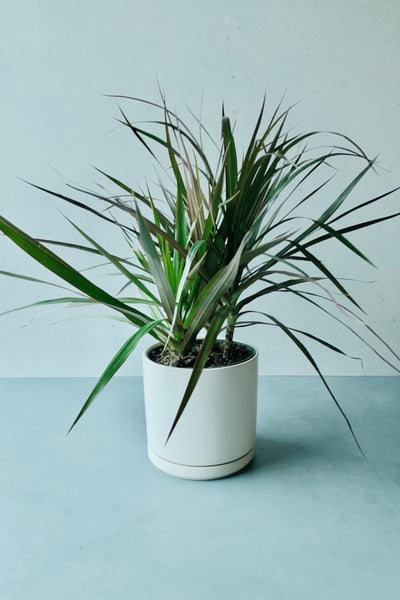 "Dracena, Marginata 10""- Tip form/Bush"