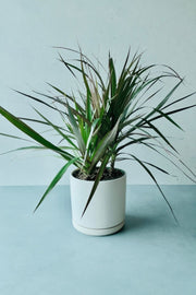 Dracaena, Dragon Tree 6""