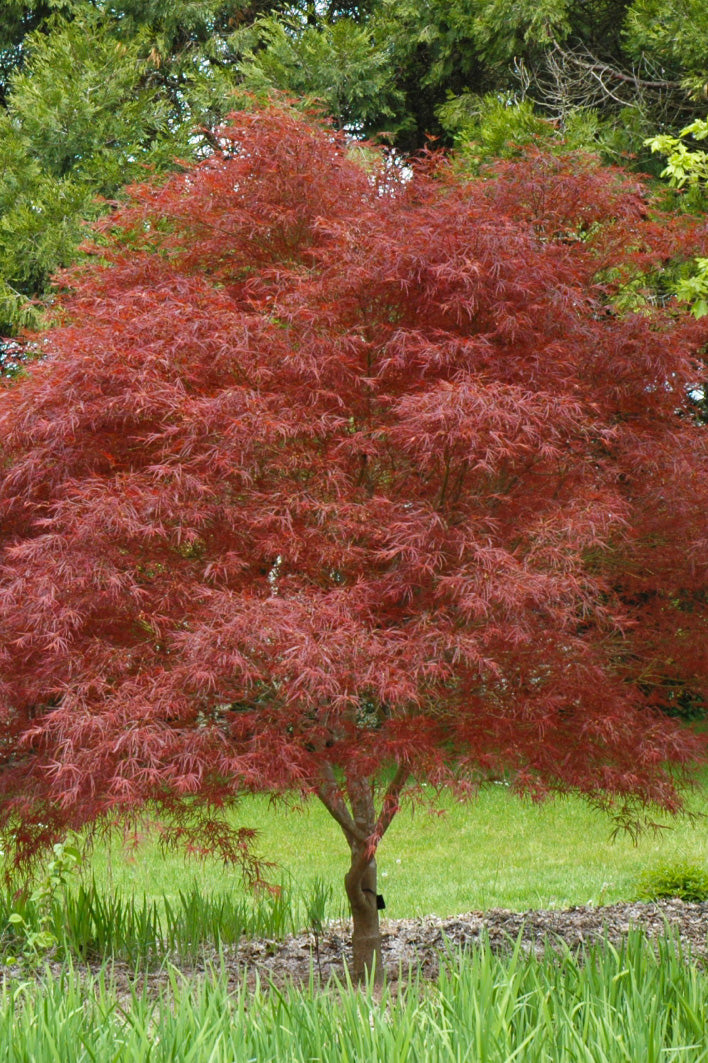 Japanese Maple: Dwarf Red Pygmy