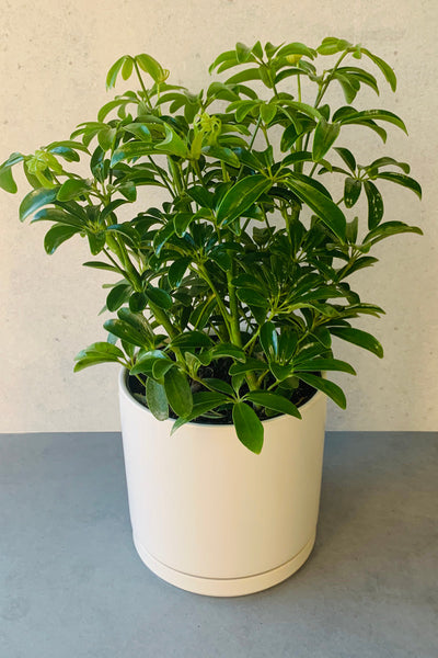 Dwarf Umbrella Tree 6""