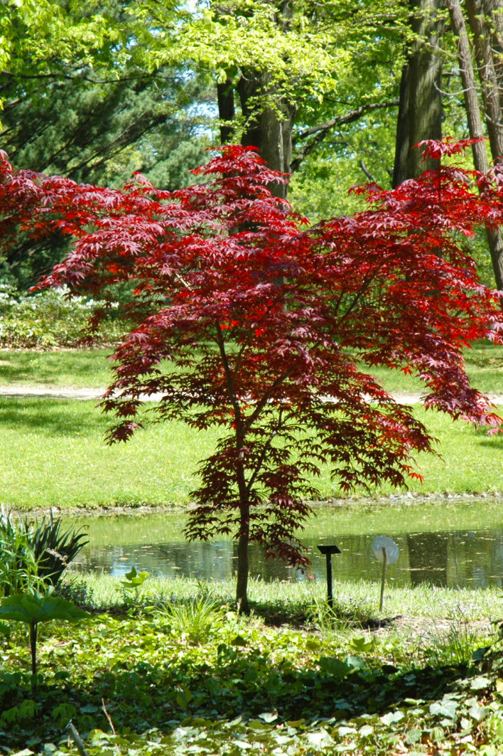 Japanese Maple, Emperor I
