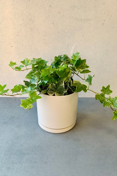 Ivy, English Ivy Glacier 4""