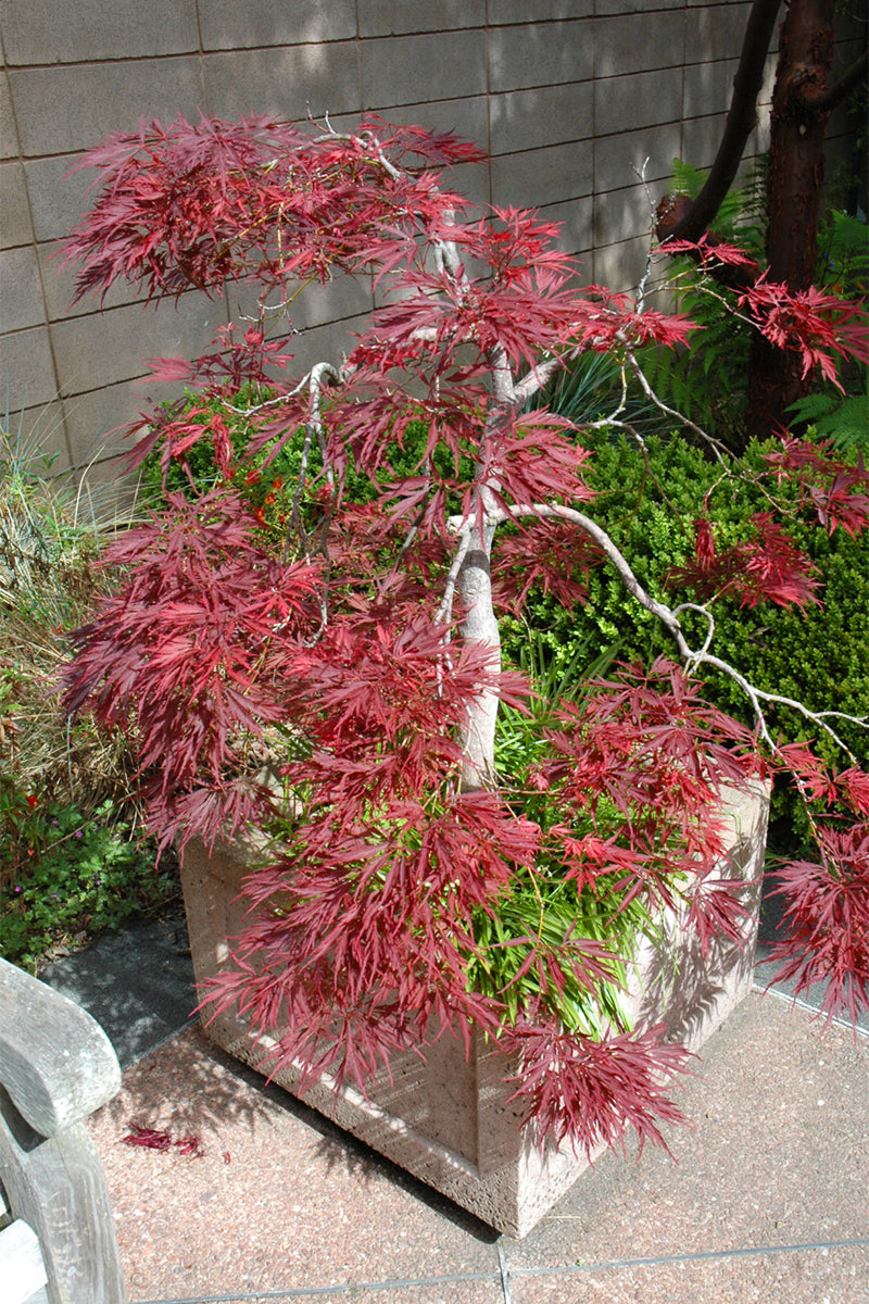 Japanese Maple, Ever Red Cutleaf