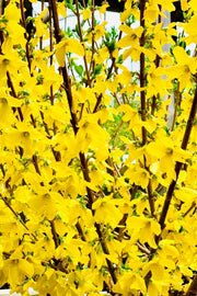 Forsythia, Show Off