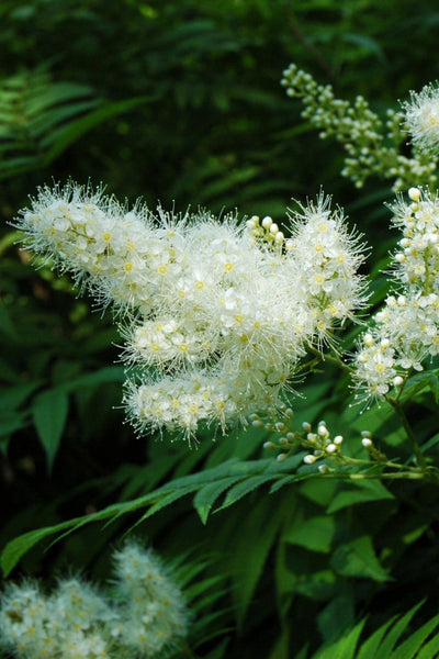 Spirea, False