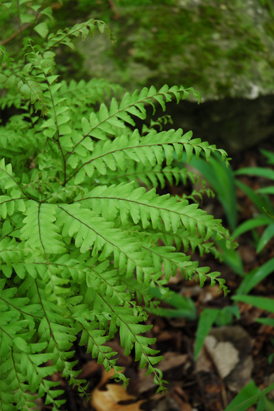 Fern, Northern Maidenhair