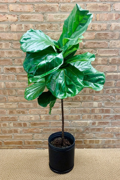 Fiddleleaf Fig Standard Form 10""