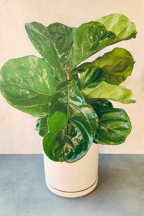"Fig, Fiddle-leaf 8"" Bush Form"
