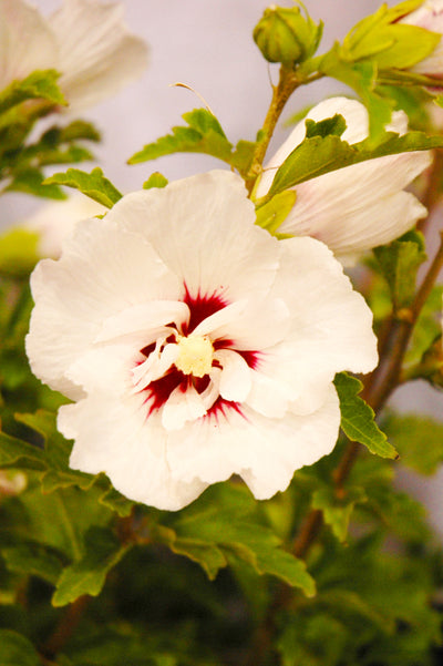 Rose of Sharon, Fiji
