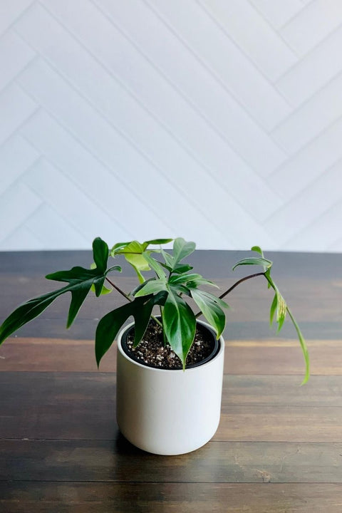 Philodendron Florida Ghost 4""