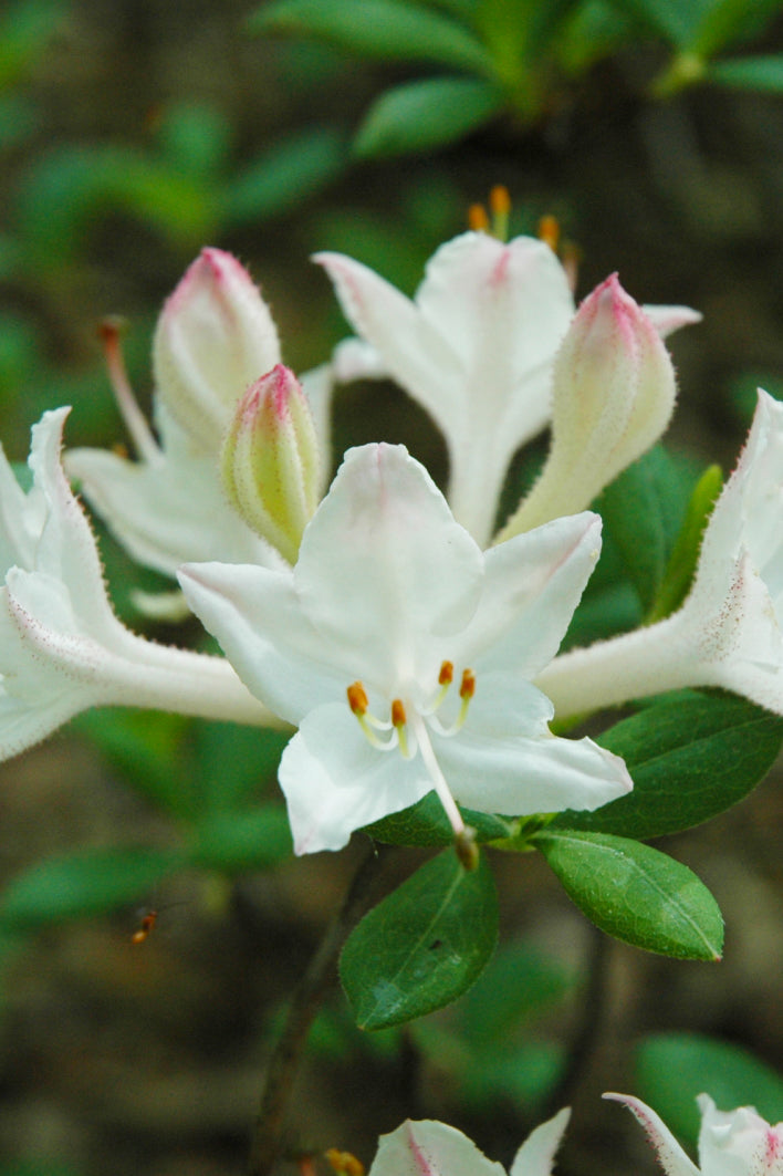 Rhododendron, Fragrant Star