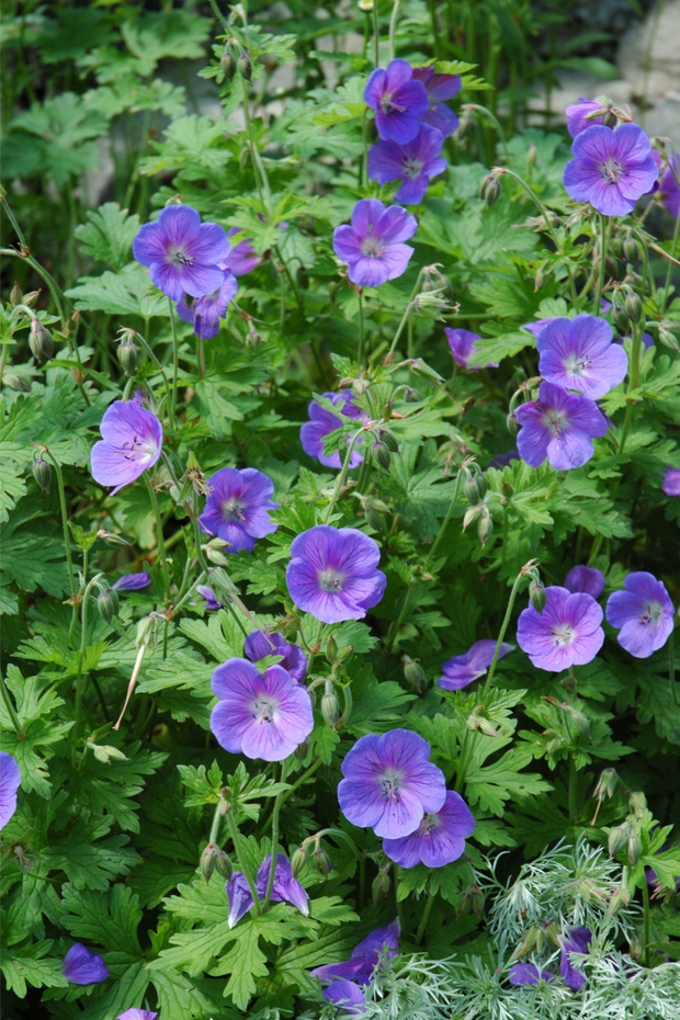 Geranium, Johnson's Blue Cranesbill