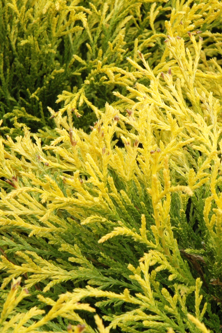 Falsecypress, Golden Mops