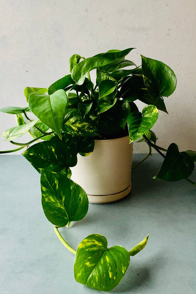Pothos, Golden 6""