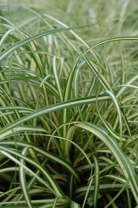 Grass, Evergold Japanese Sedge