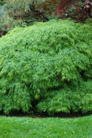 Japanese Maple, Green Cutleaf