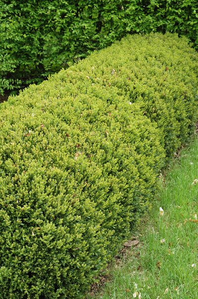 Boxwood, Green Gem