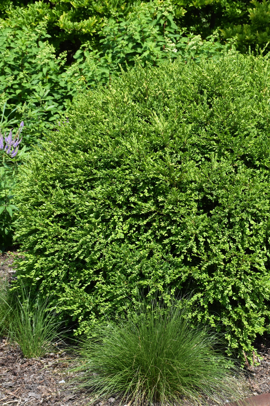 Boxwood: Green Gem