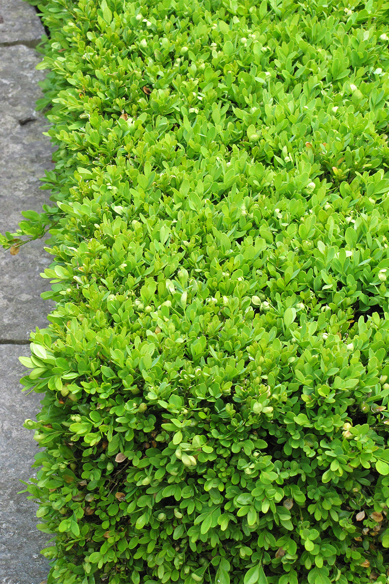Boxwood: Green Velvet