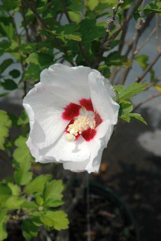 Rose Of Sharon, Red Heart