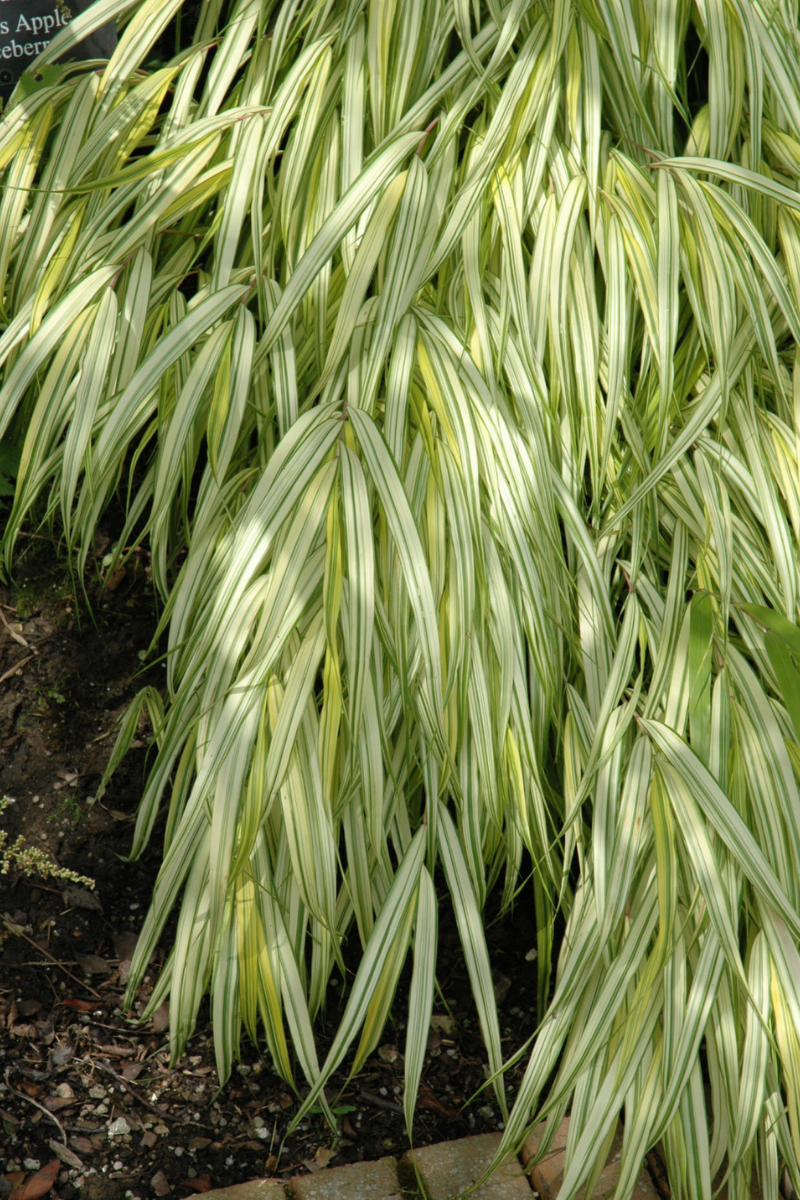 Hakone Grass, Golden Variegated