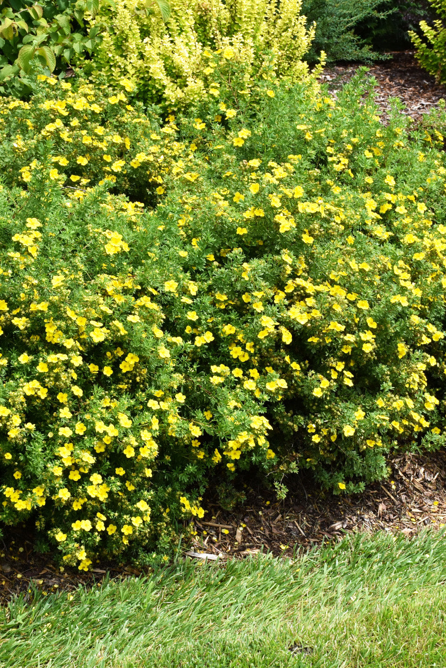 Potentilla: Happy Face Yellow