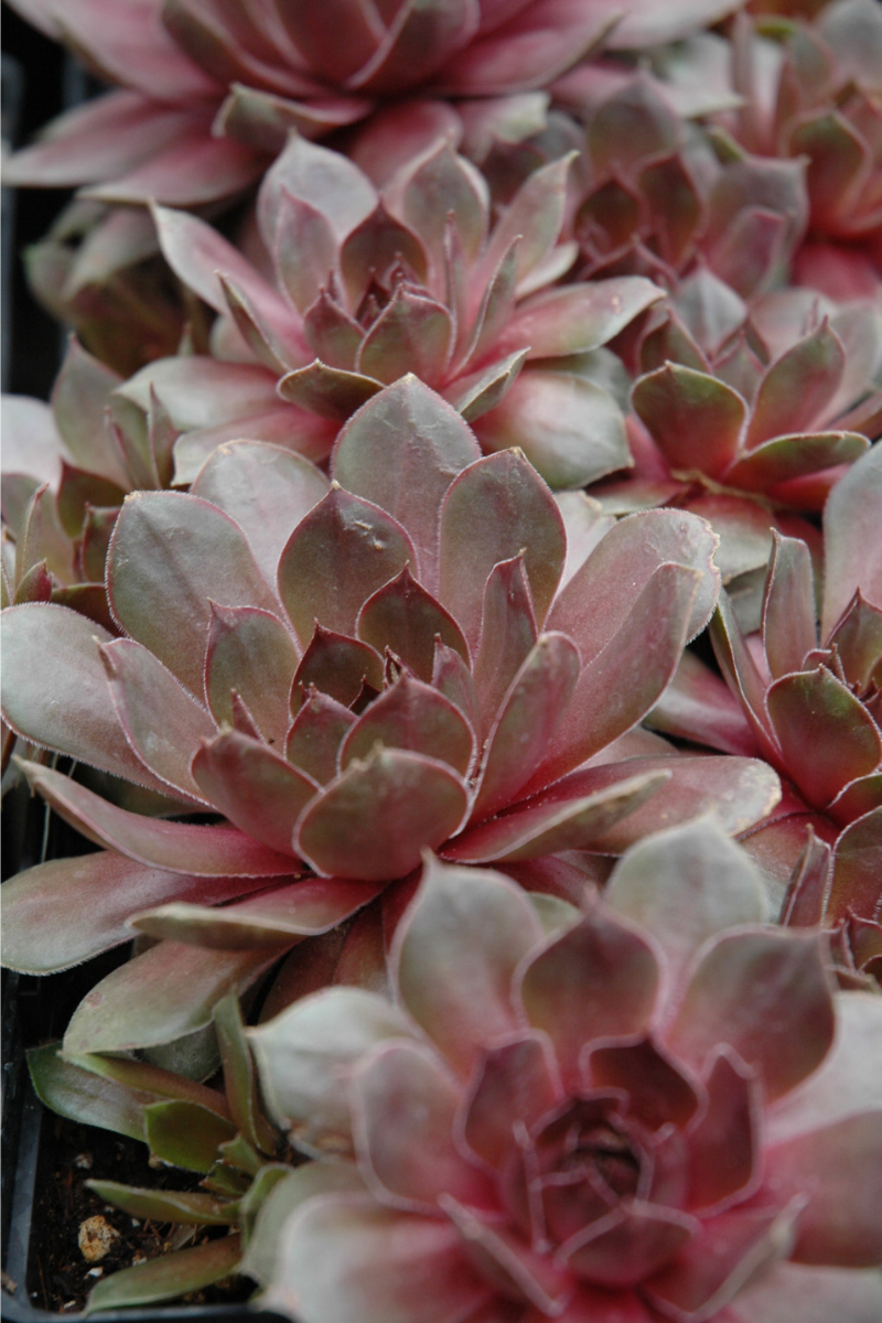 Hen and Chicks, Sanford's Hybrid