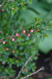 Cotoneaster, Hess