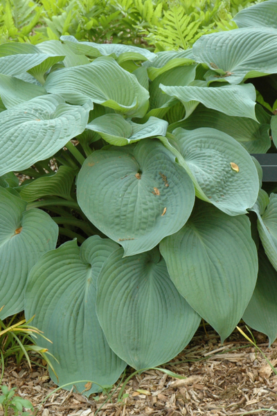 Hosta, Big Daddy